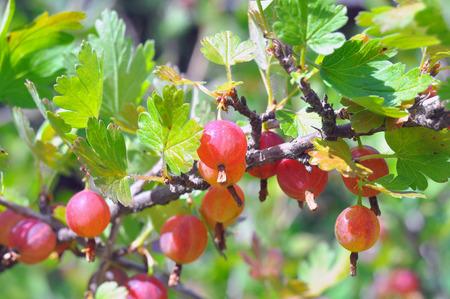 gooseberry bush: gooseberry bush with berries Stock Photo