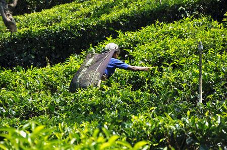 la mujer recoge té en una plantación en un srilanka Editorial