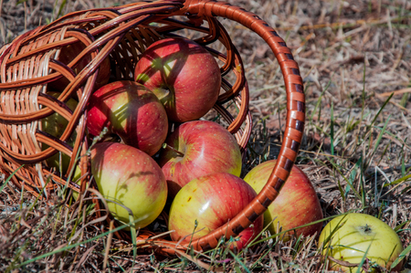 the scattered red apples in a basket on a dry grass
