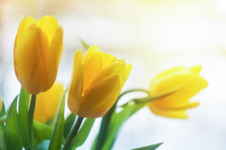 yellow tulips in sunlight beams. spring blurred background Stock Photo