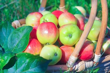 basketful: small juicy apples in a basket on a green lawn