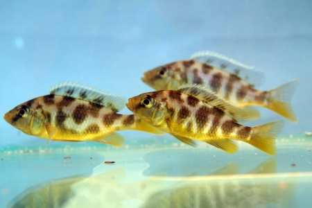 Nimbochromis venustus  Venustus Hap  - freshwater aquarium fish Stock Photo