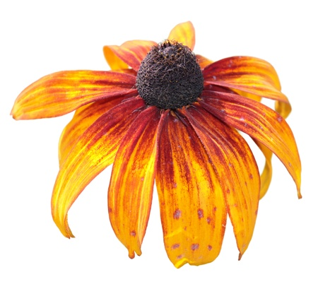 Black-eyed Susan  Rudbeckia hirta  isolated on white Stock Photo