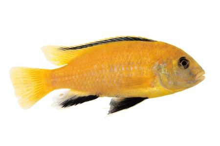 Yellow form of Melanochromis johannii Stock Photo