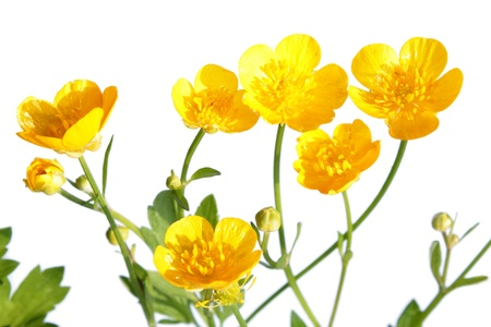 Ranunculus repens  Creeping Buttercup