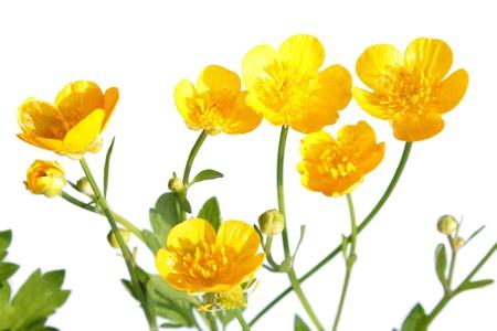 buttercup: Ranunculus repens  Creeping Buttercup