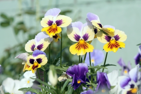 Yellow and white pansies