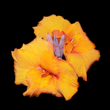 Flowers of orange canna Stock Photo