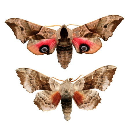 Two hawk moths Stock Photo