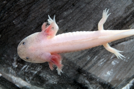 salamander: Axolotl  Ambystoma mexicanum  Stock Photo