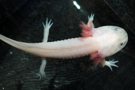amphibia: Axolotl  Ambystoma mexicanum  Stock Photo