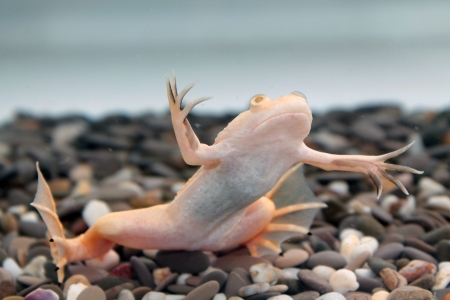 clawed: Xenopus laevis  African clawed frog