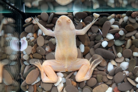 Xenopus laevis  African clawed frog