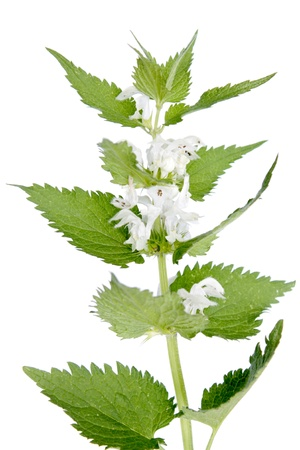 White deadnettle  Lamium album