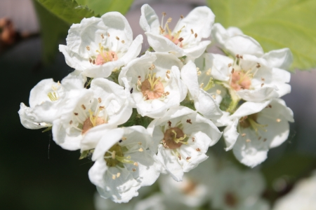 laevigata: Flowers of English hawthorn