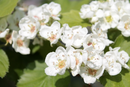Flowers of English hawthorn