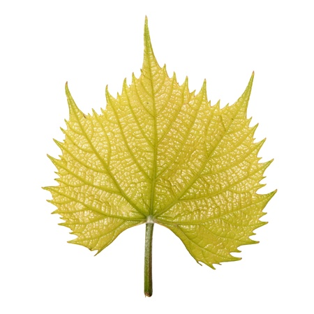 Vernal leaf of Common Grape Vine