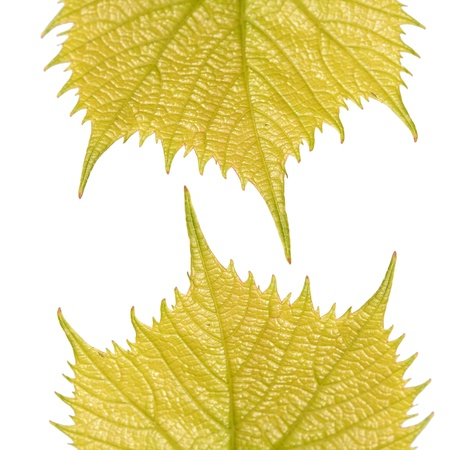 vernal: Two vernal leafs of Common Grape Vine