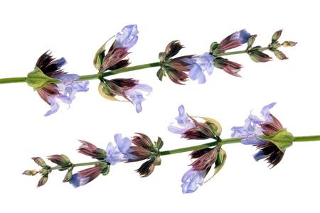 일반적인 샐비어의 officinalis 스톡 콘텐츠