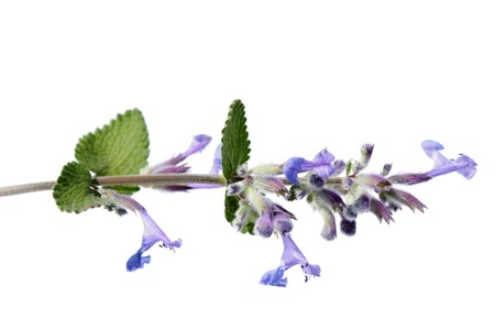 Nepeta cataria  Catmint  스톡 사진