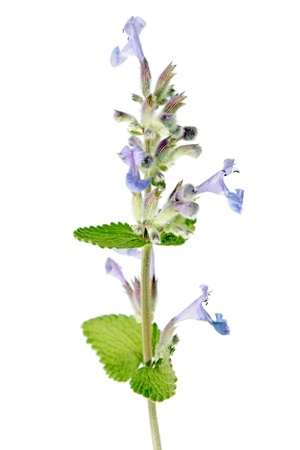 catnip: Nepeta cataria  Catmint  Stock Photo