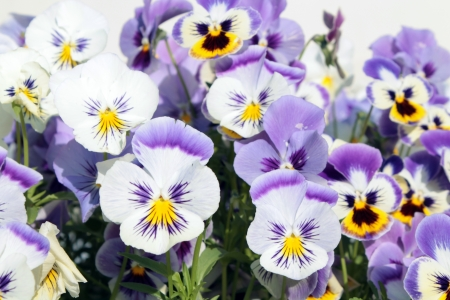 Purple and white pansies