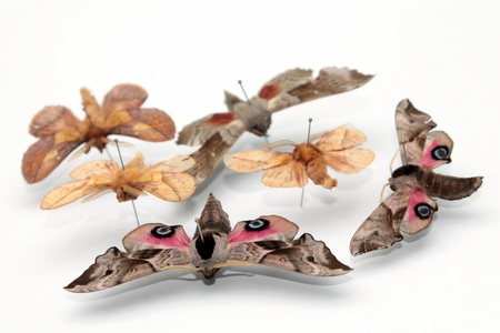 Entomological collection of butterflies