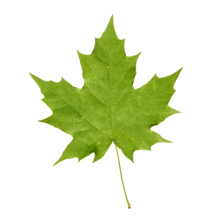 acer platanoides: Green maple leaf Stock Photo