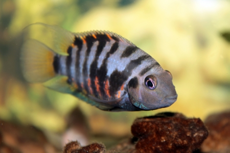 Convict cichlid  Zebra cichlid Stock Photo - 20208042