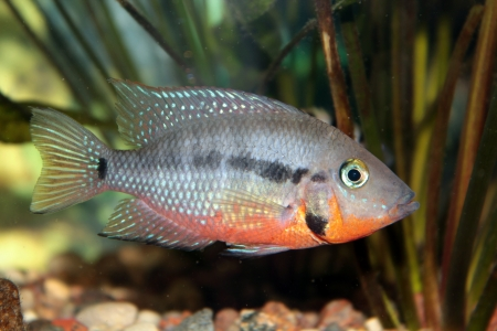 Firemouth cichlid  Thorichthys meeki Stock Photo - 20208085