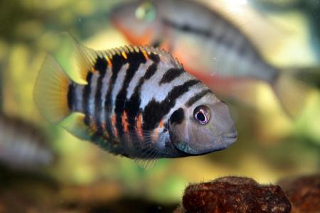 cichlid: Convict cichlid  Zebra cichlid