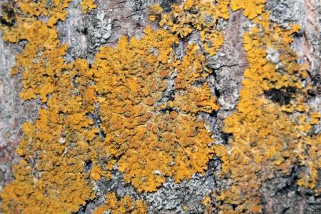 Common orange lichen on tree bark Stock Photo