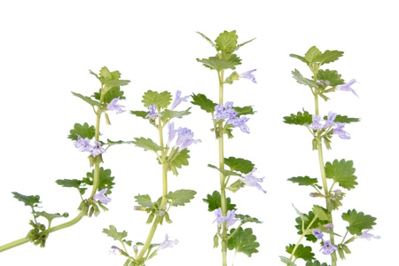 Glechoma hederacea  Ground Ivy  스톡 사진