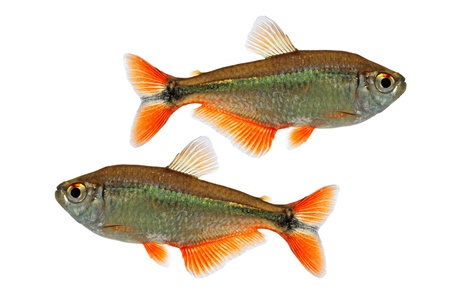 Buenos Aires tetra  Hyphessobrycon anisitsi  스톡 사진