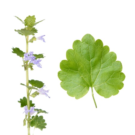 Glechoma hederacea (Ground Ivy) Imagens - 20352762