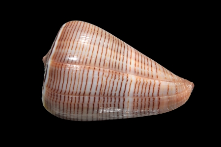cone shell: Shell of Conus figulinus  fig cone  on black background