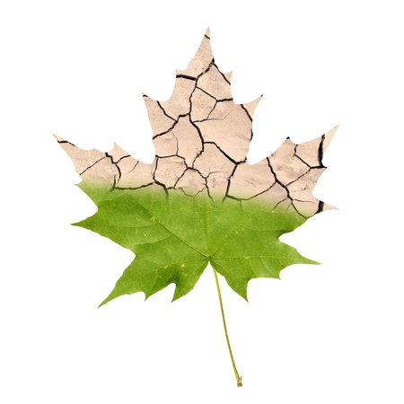 Wither maple leaf isolated on white photo