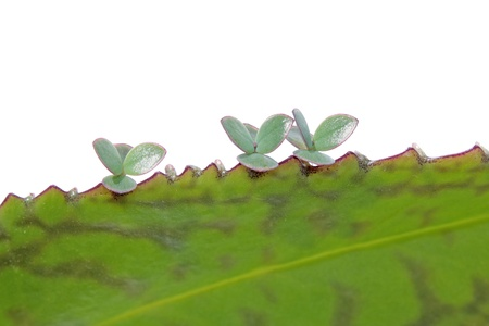 Young plants of Kalanchoe on parental leaf Stock Photo