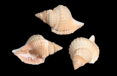 Shells of Distorsio reticularis on black background Stock Photo