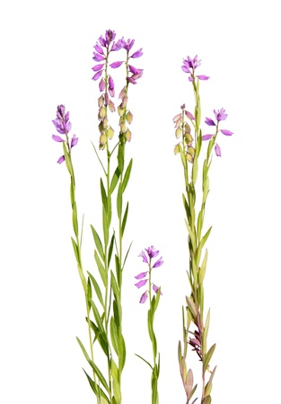 Flowers of pink milkwort isolated on white