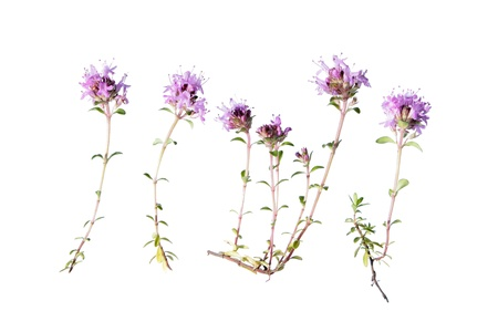 Wild thyme  Thymus serpyllum  isolated on white