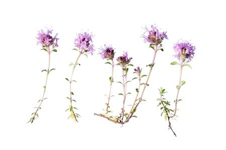 creeping plant: Wild thyme  Thymus serpyllum  isolated on white