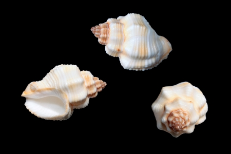 Cantharus erythrostomus sea shells on black background 스톡 사진