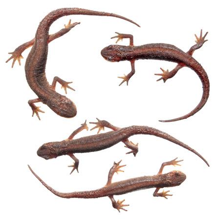 Common newts (Lissotriton vulgaris) isolated on white