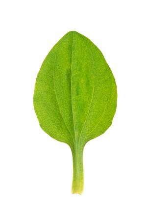 Green leaf of greater plantain isolated on white Stock Photo