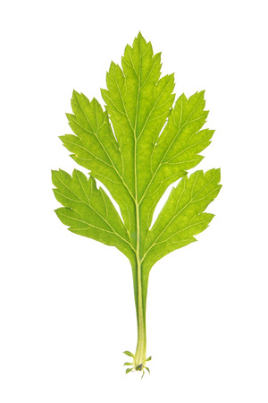 Green leaf of Common wormwood isolated on white Stock Photo