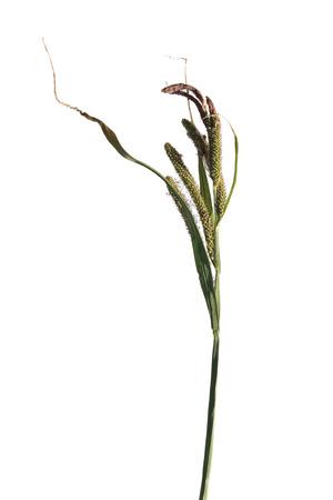 carex: Sedge (Carex elata) plant isolated on white