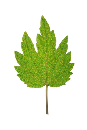 Green leaf of Motherwort isolated on white Stock Photo