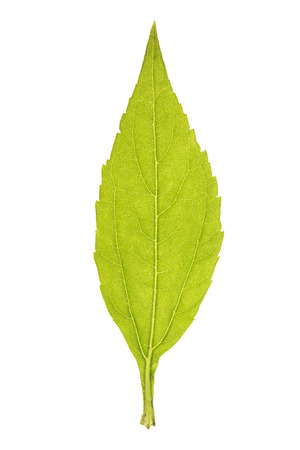 Green leaf of topinambour isolated on white