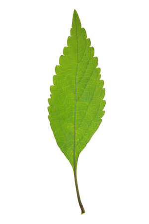 Green leaf of Crested late-summer mint isolated on white